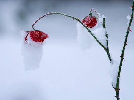 """Résultat de recherche d'images pour """"coquelicots dans la neige"""""""
